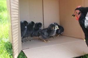 Twelve Days of Adventures #9, Hatching Chicks