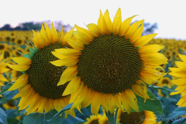 blossoms-grinter-sunflower-farm-johnna-perry
