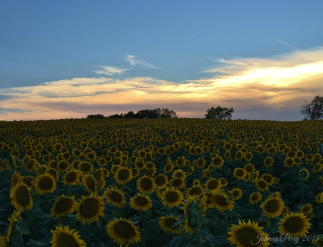 Grinter Farms Sunflower Field | Photo by Johnna Perry